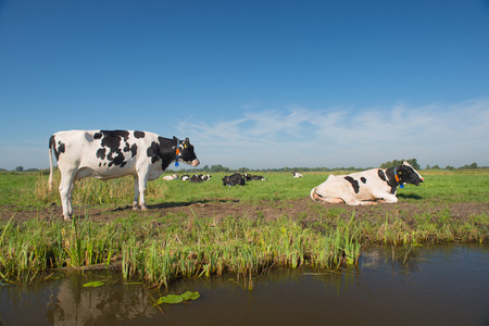 dutch typical: Typical Dutch cows in landscape with water and pastures Stock Photo