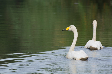 Little white swan swimming in water photo