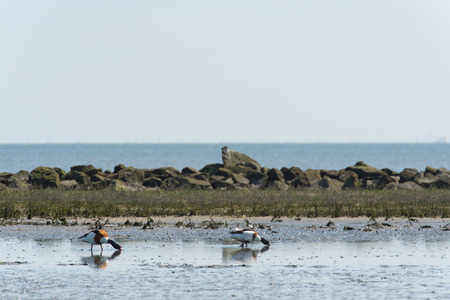 the wadden sea: Couple common shelducks foraging in wadden sea