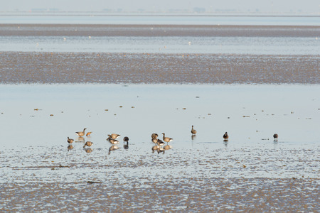 ebb: Group brent gooses wading in wadden sea