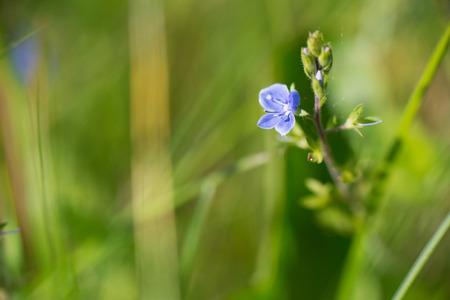 speedwell: Little blue European speedwell in nature Stock Photo