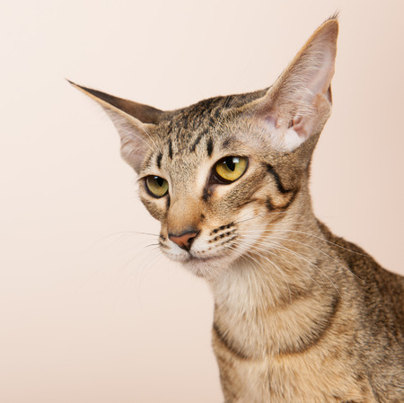 cream color: Oriental Shorthair cat on cream color background