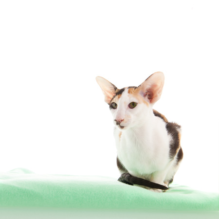 oriental white cat: Oriental Shorthair cat on green blanket isolated over white background Stock Photo