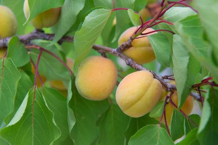 Boomgaard met veel rijpe perziken Stockfoto