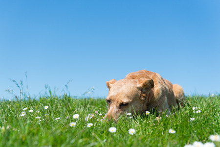 spanish landscapes: Brown cross breed dog laying in grass