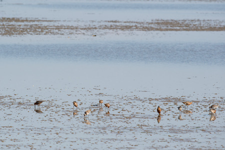 the wadden sea: Group bar-tailed godwit wading in wadden sea Stock Photo