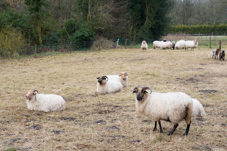 dutch typical: Typical Dutch sheep in province Drenthe Stock Photo