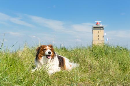 wadden: Kooikerhondje laying in the dunes at Dutch wadden island Terschelling