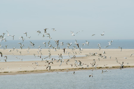 the wadden sea: Many flying seagulls above the Dutch wadden sea
