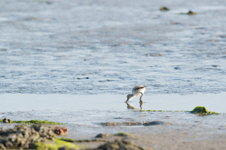 forage: Avocet chick forage in water