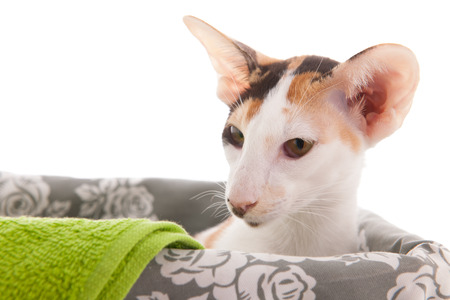 oriental white cat: Oriental Shorthair cat in basket isolated over white background