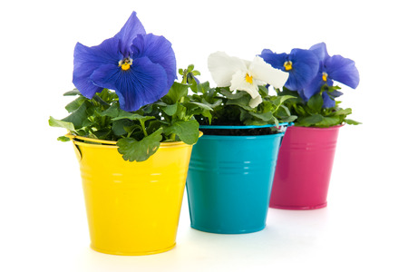 flower in pot: colorful Pansy flowers in little buckets isolated over white background