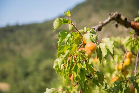 Boomgaard met veel rijpe abrikozen