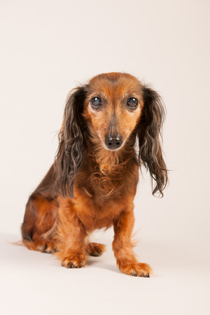 haired: Long haired dachshund on beige background Stock Photo