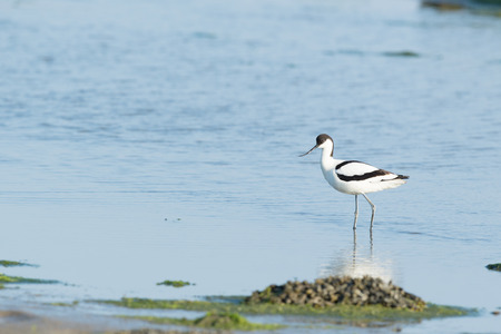 spring tide: Pied avocet walking and foraging in water Stock Photo