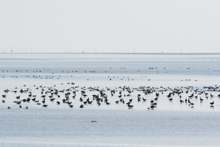 brent: Group brent gooses wading in wadden sea