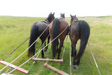 tilt: Horses with tilt car in the nature from Dutch wadden island Terschelling Stock Photo