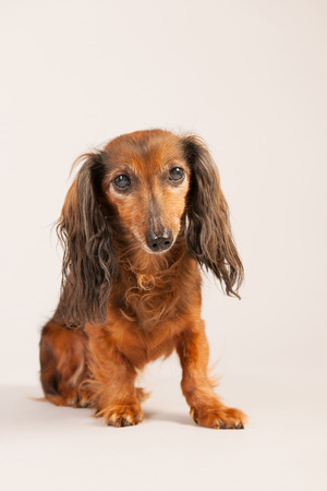 haired: Long haired dachshund on beige