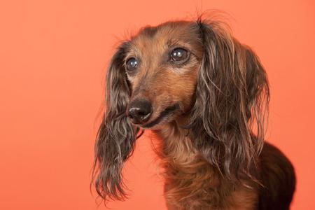 haired: Long haired dachshund on orange