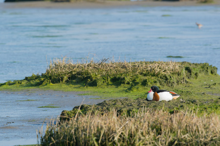 the wadden sea: Breeding common shelduck in Dutch wadden sea Stock Photo