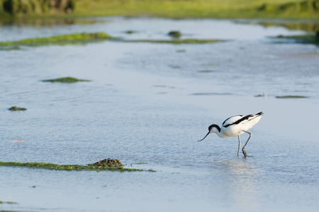 pied: Pied avocet walking and foraging in water Stock Photo