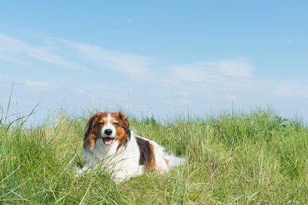 dutch typical: Typical Dutch dog kooikerhondje laying in the dunes Stock Photo