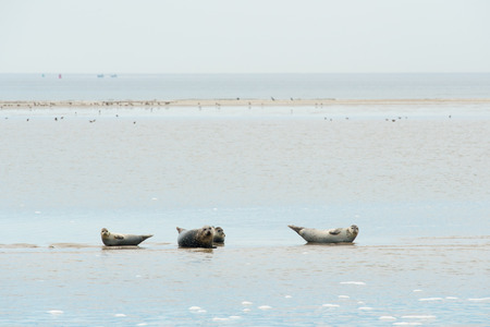wadden: Seal resting on sand bank in wadden sea