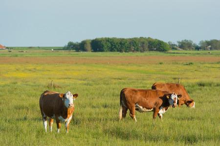 wadden: Grazing Herford cows on Dutch wadden island Terschelling