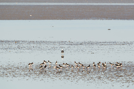 the wadden sea: Eurasian Oystercatchers in wadden sea in Holland
