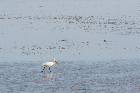 searching for: spoonbill searching for food in wadden sea Stock Photo