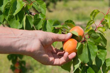 Picking rijpe perziken uit de boom