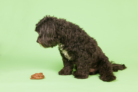 defecation: Dog with smelling stool in studio