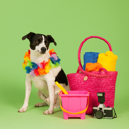 Black and white cross breed dog on vacation at green background photo