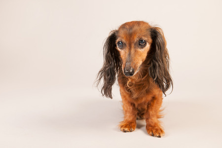long haired: Long haired dachshund on beige background Stock Photo
