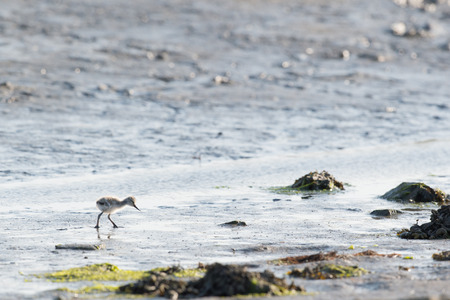 avocet: Avocet chick forage in water