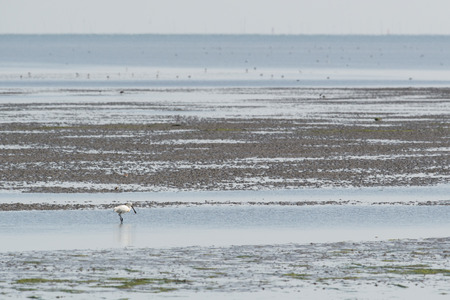 the wadden sea: spoonbill searching for food in wadden sea Stock Photo
