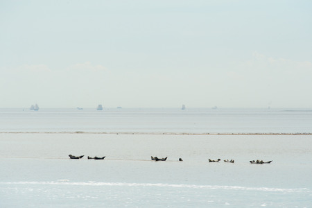 the wadden sea: Seal in Dutch wadden sea Stock Photo