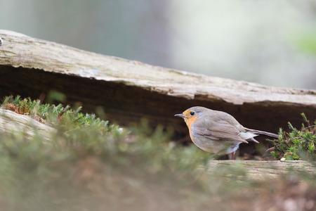 robin bird: European Robin bird in forest