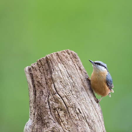 eurasian: Eurasian nuthatch in tree trunk