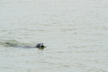 the wadden sea: Single seal swimming in wadden sea