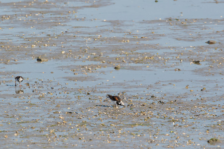 the wadden sea: Ruddy turnstone in wadden sea