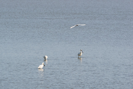 the wadden sea: Several spoonbills at breakwater in Dutch wadden sea