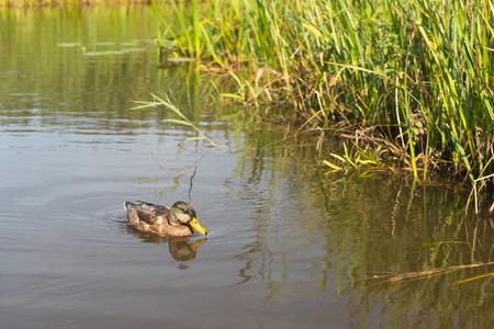 pato real: Nataci�n femenina del pato del pato silvestre en el agua