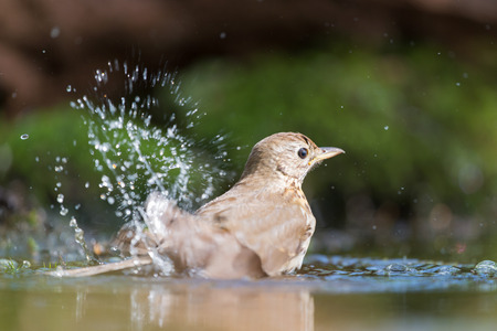 turdus: Mistle Thrush taking a bath in nature water