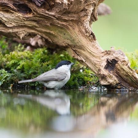 passerine: Marsh tit uccello in albero