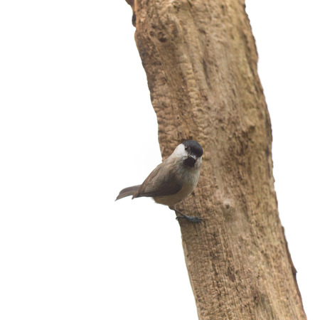 poecile palustris: Marsh tit passerine bird in tree Stock Photo
