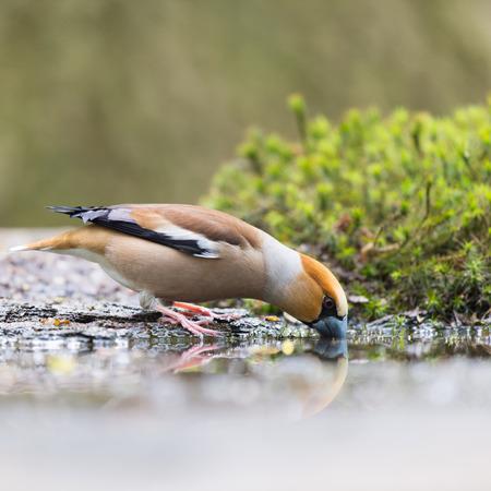 Hawfinch alla terra vicino lago di acqua Archivio Fotografico