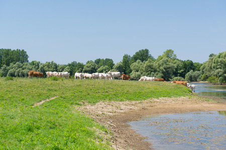 River the Doubs in the western of France with cattle Charolais cows photo