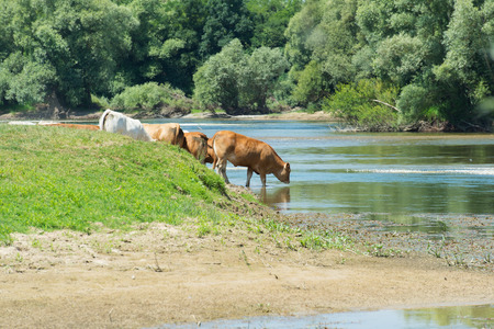 River the Doubs in the western of France with cattle Charolais cows Stock Photo