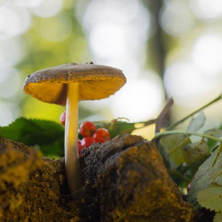 bolete: velvet bolete in forest with high trees